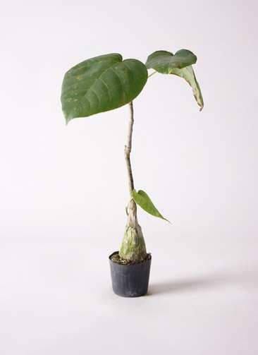 多肉植物 ボンバックス エリプチカム 2号 プラスチック鉢