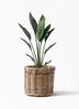 観葉植物  ストレリチア (ストレチア) レギネ 6号 グレイラタン 付き