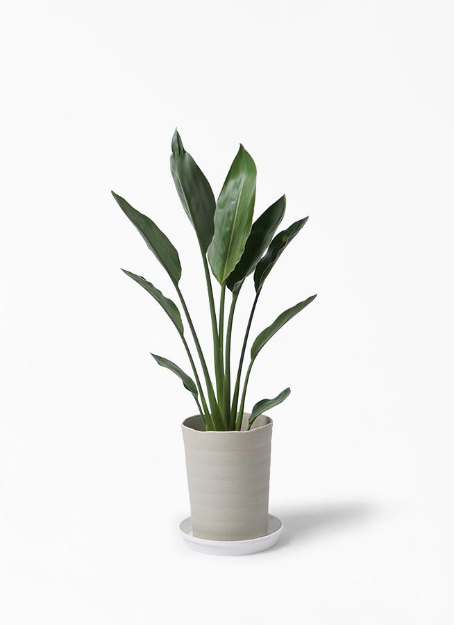観葉植物 ストレリチア (ストレチア) レギネ 6号 プラスチック鉢 ...