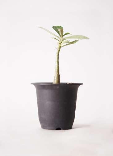 多肉植物 アデニウム オベスム 3号 プラスチック鉢