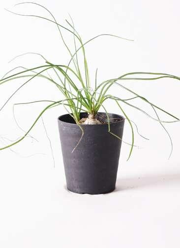 多肉植物 オーニソガラム カウダツム 3号 プラスチック鉢