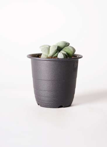 多肉植物 ガステリア グロメラータ 3号 プラスチック鉢