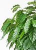 観葉植物 コーヒーの木 10号 プラスチック鉢 2枚目
