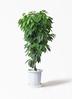 観葉植物 コーヒーの木 10号 プラスチック鉢