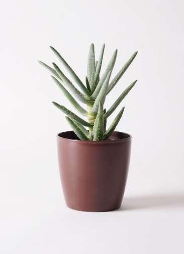 多肉植物 アロエ ディコトマ 4号 プラスチック鉢