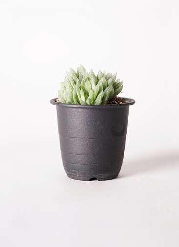 多肉植物 ハオルチア トランシエンス 3号 プラスチック鉢