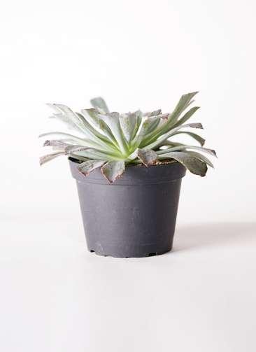 多肉植物 エケベリア ネオンブレーカーズ 5号 プラスチック鉢