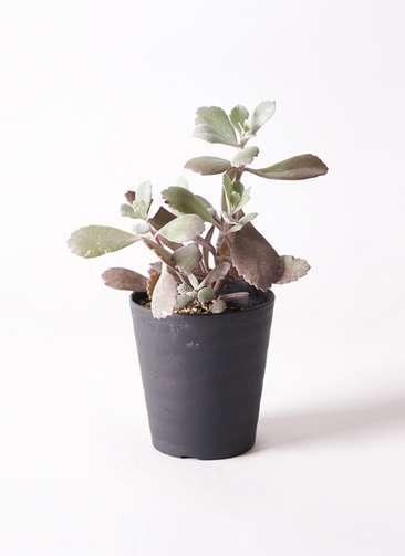 多肉植物 カランコエ プミラ 白銀の舞(はくぎんのまい) 3号 プラスチック鉢