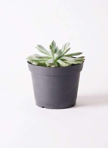 多肉植物 エケベリア プリドニス 5号 プラスチック鉢