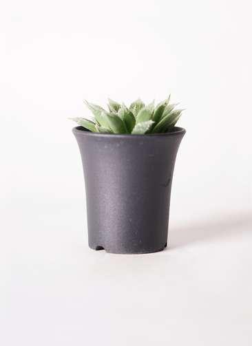 多肉植物 ハオルチア ボルシー 3号 プラスチック鉢