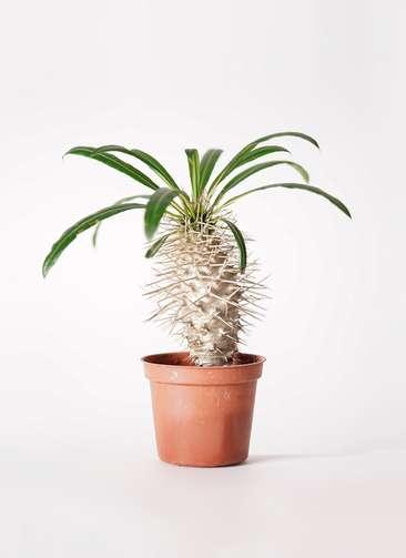 多肉植物 パキポディウム ラメリー 3号 プラスチック鉢