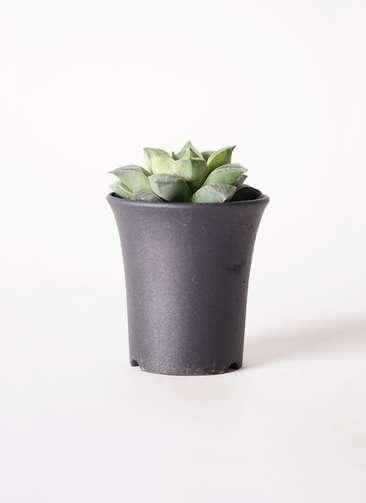 多肉植物 ハオルチア レシーサ錦系 実生選抜 3号 プラスチック鉢