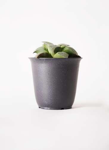 多肉植物 ハオルチア レツーサ系 実生選抜 3.5号 プラスチック鉢