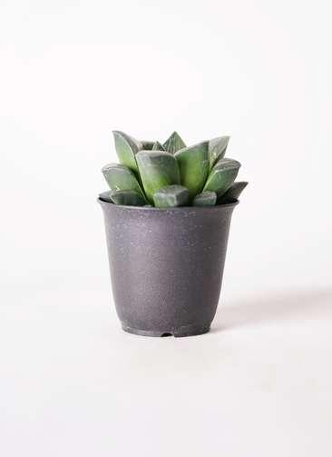 多肉植物 ハオルチア レツーサ系 実生選抜 3号 プラスチック鉢