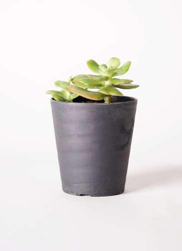 多肉植物 エケベリア 錦晃星(きんこうせい) 3号 プラスチック鉢