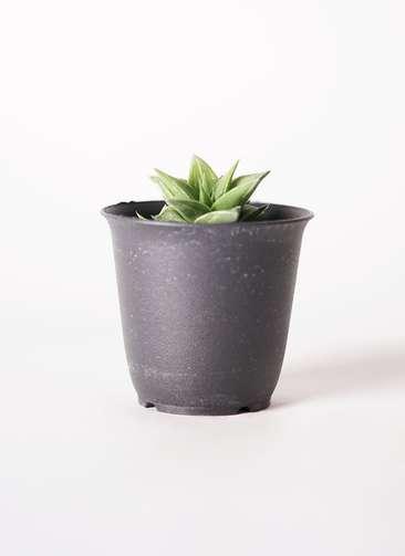 多肉植物 ハオルチア 硬葉系 緑 実生選抜 3号 プラスチック鉢