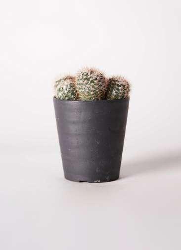 サボテン ノトカクタス 紅小町・小町(べにこまち・こまち) 3号 プラスチック鉢