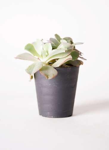 多肉植物 エケベリア 高砂の翁(たかさごのおきな) 3号 プラスチック鉢