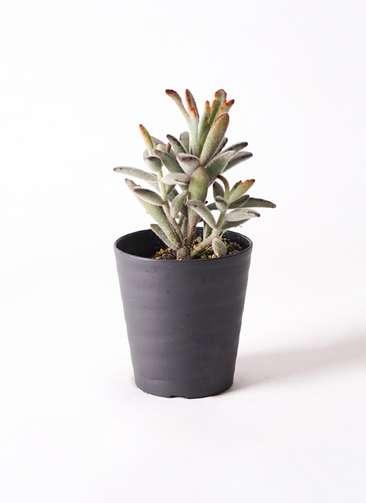 多肉植物 カランコエ 黒兎耳(くろとじ) 3号 プラスチック鉢