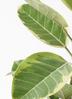 観葉植物 フィカス アルテシーマ 4号 ストレート 竹バスケット付き 2枚目