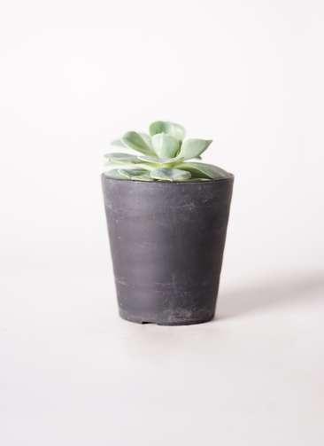 多肉植物 エケベリア 七福神(しちふくじん) 3号 プラスチック鉢