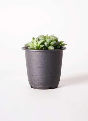 多肉植物 ハオルチア 小型特美レツーサ 花鏡(はなかがみ) 3号 プラスチック鉢