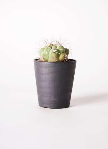 サボテン ギムノカリキウム 新天地錦(しんてんちにしき) 3号 プラスチック鉢
