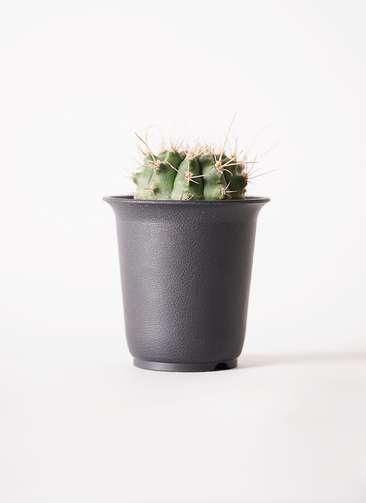 サボテン ギムノカリキウム 翠晃冠(すいこうかん) 2.5号 プラスチック鉢