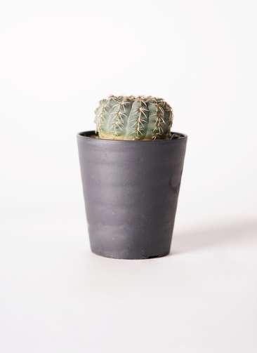 サボテン ギムノカリキウム 瑞昌玉(ずいしょうぎょく) 3号 プラスチック鉢