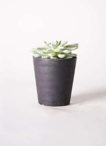 多肉植物 エケベリア 静夜(せいや) 3号 プラスチック鉢
