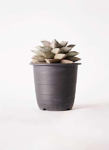 多肉植物 ハオルチア 軟葉系 灰 実生選抜 3.5号 プラスチック鉢