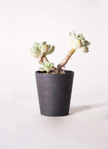多肉植物 エケベリア 白牡丹(しろぼたん) 3号 プラスチック鉢