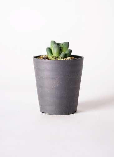 多肉植物 ハオルチア 万象(ばんしょう) 3号 プラスチック鉢