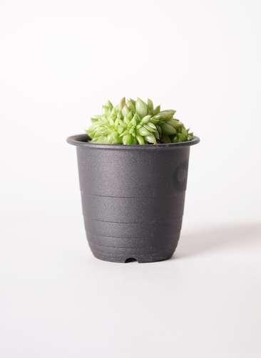 多肉植物 エケベリア 鯱(しゃち) 3号 プラスチック鉢