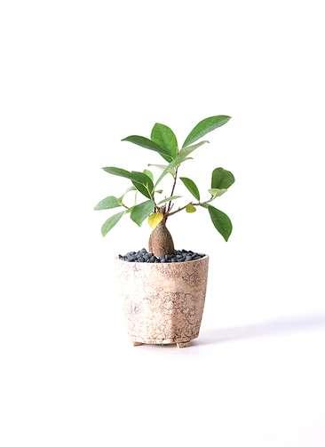 観葉植物 ガジュマル 3号 Type02 desert #β 【M size】