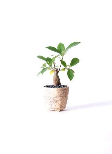 観葉植物 ガジュマル 3号 Type02 desert #β 【S size】