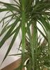 観葉植物 【160cm】ドラセナ コンシンネ 8号 #21764 2枚目