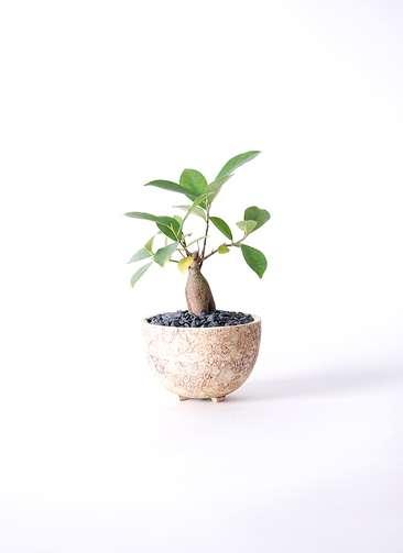 観葉植物 ガジュマル 3号 Type02 desert #γ 【S size】