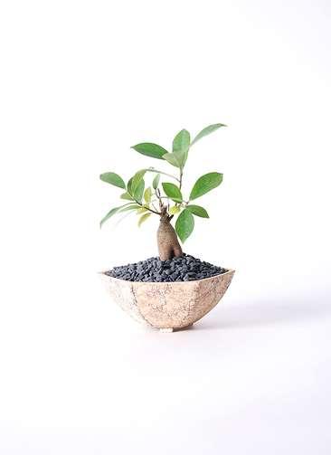 観葉植物 ガジュマル 3号 Type02 desert #δ 【M size】