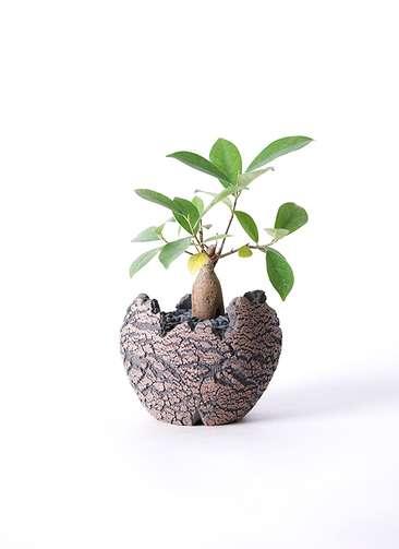 観葉植物 ガジュマル 3号 Type01 fang 【S size】
