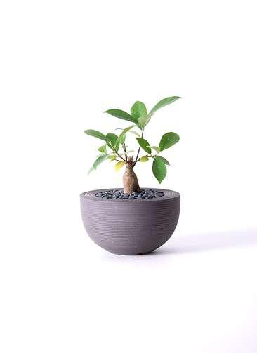 観葉植物 ガジュマル 3号 Hemisphere 【M size】