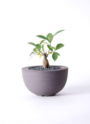 観葉植物 ガジュマル 3号 Hemisphere 【L size】