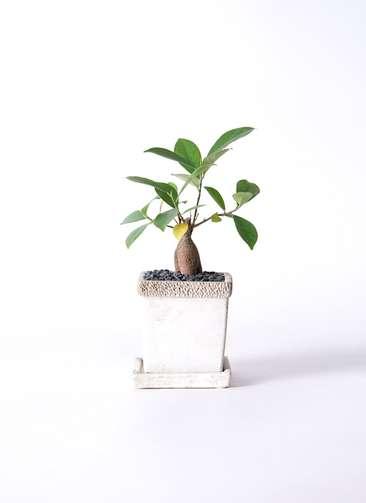 観葉植物 ガジュマル 3号 リト キューブ3号 受け皿付き