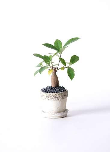 観葉植物 ガジュマル 3号 リト ラウンド3号 受け皿付き