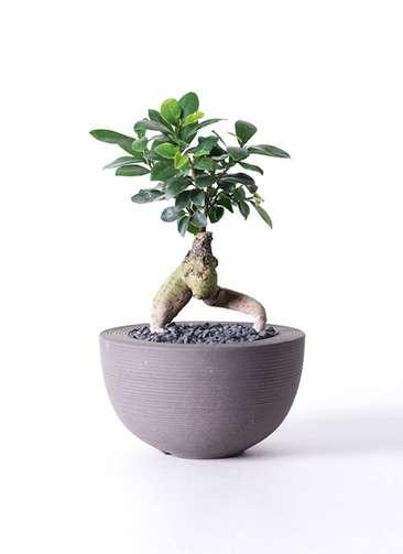 観葉植物 ガジュマル 4号 Hemisphere 【L size】