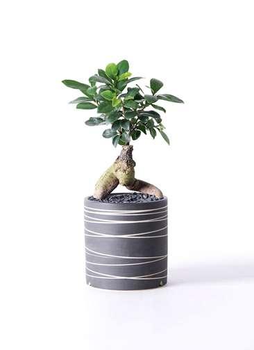 観葉植物 ガジュマル 4号 Kross 【L size】