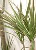 観葉植物 【150cm】ドラセナ コンシンネ トリカラー 8号 #21813 3枚目