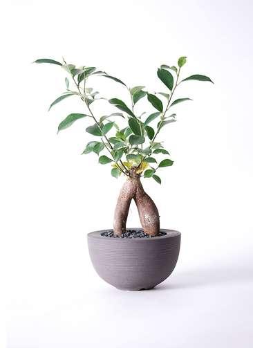 観葉植物 ガジュマル 5号 Hemisphere 【L size】