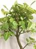 観葉植物 【160cm】フィカス アルテシーマ 10号 #21855 3枚目