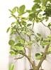 観葉植物 【1都3県 限定配送】 【160cm】フィカス アルテシーマ 10号 #21859 3枚目